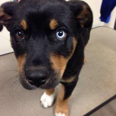 Rottweiler huskies - on Pinterest | Husky Mix, Rottweilers ...