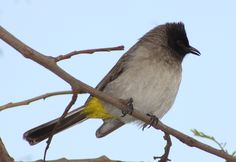LIBERIA: The common bulbul (Pycnonotus barbatus) is a member of the bulbul family of passerine birds. It is a ubiquitous resident breeder throughout Africa. Other names include black-eyed bulbul and common garden bulbul.