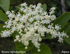 Гроздь черной бузины - это лекарство от старости. Черная бузина - это высокорослый кустарник или небольшое дерево около 3 метров высотой. Бузина с рассеченными листьями обладает лекарственными свойствами, что широко используется в народной медицине. …