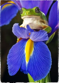 Frog and iris