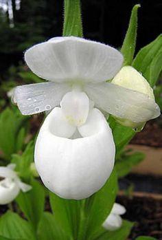 Orchidée : Cypripedium reginae alba