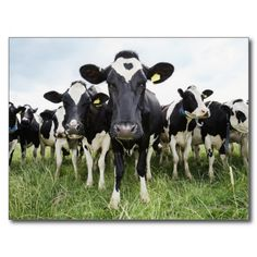 #Cows standing in a row looking at camera #postcard #farms #zazzle