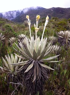 Frailejón in Chingaza - Colombia https://www.HotelTravelVacation.com