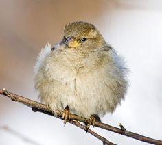 House Sparrow by Sergey Yeliseev, via Flickr