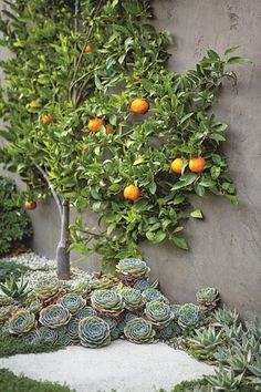 Citrus Tree, Tangerines, Succulents, Espalier At Home with Scott Shrader: Photo Gallery Scott Shrader West Hollywood, CA