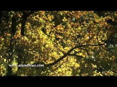 Golden tree branches in autumn.     Purchase this clip from A Luna Blue:   http://www.alunablue.com/nature-stock-footage/autumn-gold/clip-04.html     A Luna Blue Stock Video.   Imagery for Your Imagination.   http://www.alunablue.com/stock-video