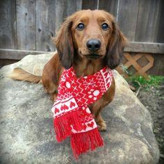 dachshund in a scarf! - source: bruno.shortfoot on instagram