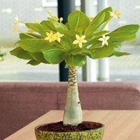 Hawaii-Palme mit Keramik-Topf (Brighamia insignis Hawaiian Palm) - Zimmerpflanzen von Gärtner Pötschke