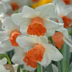 'Cool Flame' gehört sicherlich zu den besten rosa Narzissen – mit ihrer hellen Blüte, die schön über ihr Blatt hinaus wächst und sehr haltbar ist. Pflanzzeit ist im Herbst - online bestellbar bei www.fluwel.de