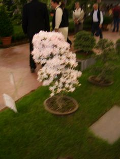 Bonsai fiorito