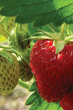 Grow the great tastes of summer in your yard with 6-Cell Strawberry Plants. These edible groundcovers will produce an enticing aroma and some sweet treats!