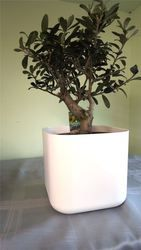 White Thick stem olive