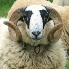 Le bélier est le mâle non châtré de l'espèce Ovis aries réservé pour la reproduction (production d'agneaux). On désigne le mâle et la femelle, sans faire de distinction de sexe, sous le terme générique de mouton. L'espèce des moutons appartient à la famille des ovidés. Le bélier blatère.