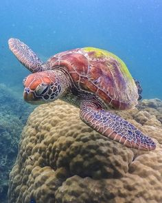 We met this handsome Green Sea Turtle while snorkeling off Fitzroy Island in the Great Barrier Reef, Austra - atlasandboots