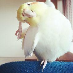 I'm showing my cockateel at an in instagram♡ http://instagram.com/nekonekodrop