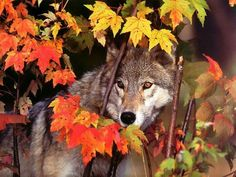 This is autumn for wolves. My favourite season. The coloured leaves harmonize very well with the grey fur of the wolf. Ah, what a wonderful life to be a wolf to enjoy beautiful and wild nature. Wolf Images, Wolf Photos, Wolf Pictures, Wolf Wallpaper, Animal Wallpaper, Beautiful Wolves, Animals Beautiful, Wolf Husky, Howl At The Moon