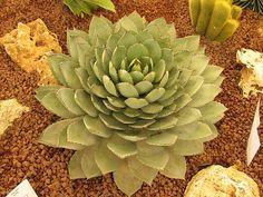 cactus del desierto - Buscar con Google