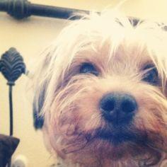 Ollie ❤ Yorkie-Poo
