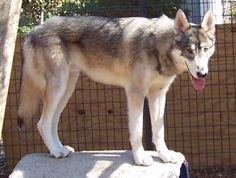 Low content. High content wolfdog, nearly impossible to differentiate from a wolf.