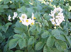 La pianta di patate con i fiori