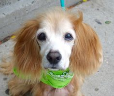 TODO_a1091868 NEUTERED MALE, RED / WHITE, COCKER SPAN, 14 yrs OWNER SUR – WAITING4PU, NO HOLD Reason MOVE2PRIVA Intake condition GERIATRIC Intake Date 10/01/2016, From NY 10025, DueOut Date 10/01/2016, I came in with Group/Litter #K16-076255.