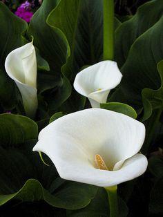 ~~Calla Lilies by Alan Shapiro Photography~~