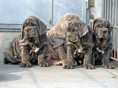 The four breeds most commonly called Mastiffs are the English Mastiff, the Neapolitan Mastiff, the Bull Mastiff and the Tibetan Mastiff. Mastiff Breeds, Mastiff Puppies, Dogs And Puppies, Doggies, Giant Dog Breeds, Giant Dogs, Cane Corso, Fierce Animals, Cute Animals