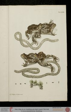 """""""Historia Natvralis Ranarvm Nostrativm in qua omnes earum proprietates"""", """"Die natürliche Historie der Frösche hiesigen Landes"""", 1758, by August Johann Rösel von Rosenhof"""