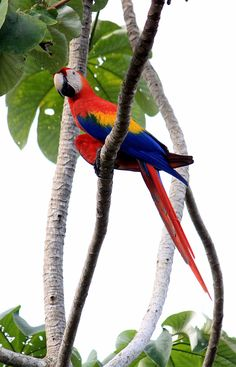 Scarlet macaw, a beautiful parrot common in Costa Rica. Find out where in the country you can see macaws, toucans and other birds in Costa Rica http://mytanfeet.com/costa-rica-wildlife-and-nature/birds-of-costa-rica/