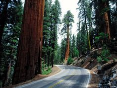 Sequoia National Park and King's Canyon, California. Amazing place. I went there many a year ago. Now I need to see the Redwood National Forest in northern CA. Sequoia is in central-ish CA.