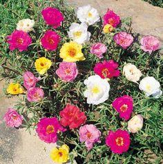 Portulaca grandiflorael, mundo de las plantas suculentas y crasas.