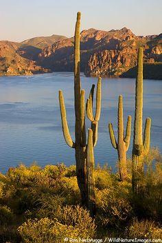 Saguaro Cactus and wildflowers above Saguaro Lake, Tonto National Forest, Arizona, USA
