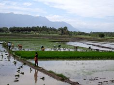 Rice (paddy) fields, South India