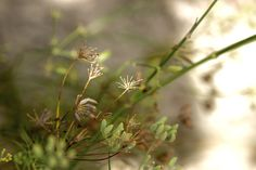 Autumn fennel