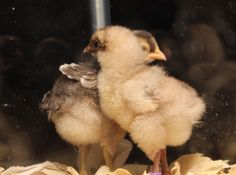 What could a blind chick and his guardian teach us about empathy? It seems like quite a bit! Check out this heartwarming and amazing story!