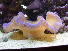 Reef tank corals saltwater fish by tonyolm, via Flickr