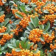 firethorn Garden Hedges, Garden Landscaping, Shrubs, Landscape Design, Plants, Front Yard Landscaping, Landscape Designs, Shrub, Plant