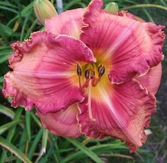 LILLIAN'S BIG OWIE X TOO HOT TO TOUCH. Daylilies forum: Seedlings for May 2016 (National Gardening Association)