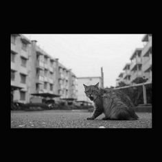 https://flic.kr/p/AVDpqK | Yama_cyan November 2015  #cat #blackandwhitephotography