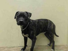 TO BE DESTROYED 9/12/14 Brooklyn Center   My name is HUNTER. My Animal ID # is A1013519. I am a male br brindle and white pit bull and labrador retr mix. The shelter thinks I am about 1 YEAR 2 MONTHS old.  I came in the shelter as a OWNER SUR on 09/09/2014 from NY 11436, owner surrender reason stated was PERS PROB.
