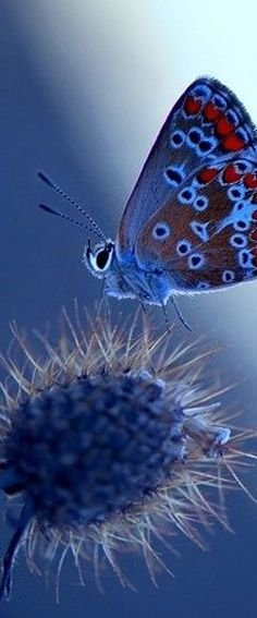 Blue Butterfly – Amazing Pictures - Amazing Travel Pictures with Maps for All Around the World Papillon Butterfly, Butterfly Kisses, Blue Butterfly, Butterfly Photos, Butterfly Flowers, Beautiful Bugs, Beautiful Butterflies, Flora Und Fauna, Tier Fotos
