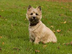 cairn+terrier   ... achtergrond met een cairn terrier rashond,zittende cairn terrier