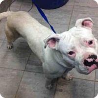Boxer Mix Dog for adoption in Grand Prairie, Texas - ELIZA