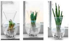 Lente-ui / bosui in een laagje water in de vensterbank / Scallion in water in the window sill