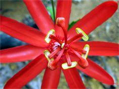 Maracujá de Capoeira - antes de decidir que presente você quer dar, consulte Floresnaweb.com e veja as nossas flores e cestas