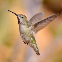 Rufous Hummingbird female (Selasphorus rufus)