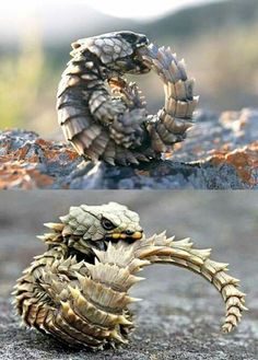 Image result for armadillo lizard