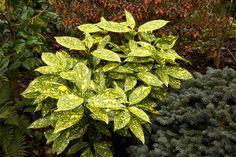 So lovely! Japonica, Plants, Garden, Green Leaves, Flowers, Laurel, Landscape, Texas Gardening, Garden Plants