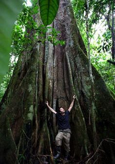 Kapok tree lover, Equador