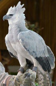 Harpy Eagle beautiful amazing